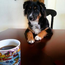 Brody Black tri mini aussie.  He thinks he is human.