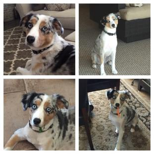 Harper is a blue merle australian shepherd