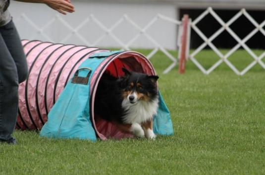 Doc in tunnels during MASCA nationals agility