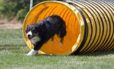 A Kings Castle's Bailey mini aussie in agility