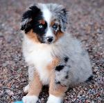 Blue merle mini Aussie in the gravel